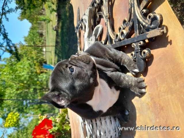 Black and tan Francia bulldog kiskutyák eladók