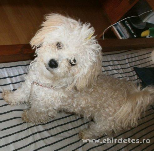 elad243 bichon havanese szuka kutya h225zi225llat kutya