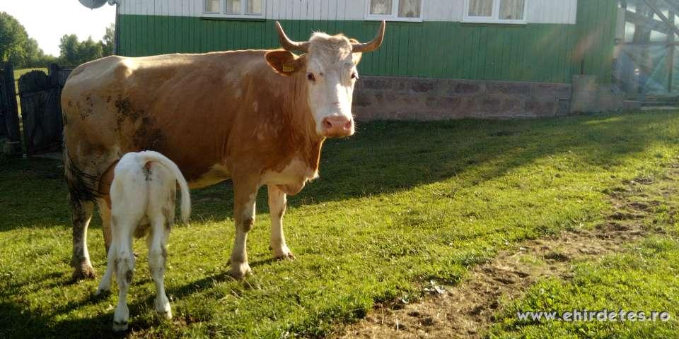 Eladó egy tejkontrolos tehén 1 hetes bika belga borjuval