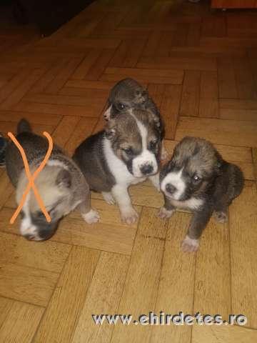 Eladó közép Ázsiai kutyák