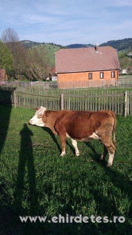 Első burjús ondózott tehén eladó