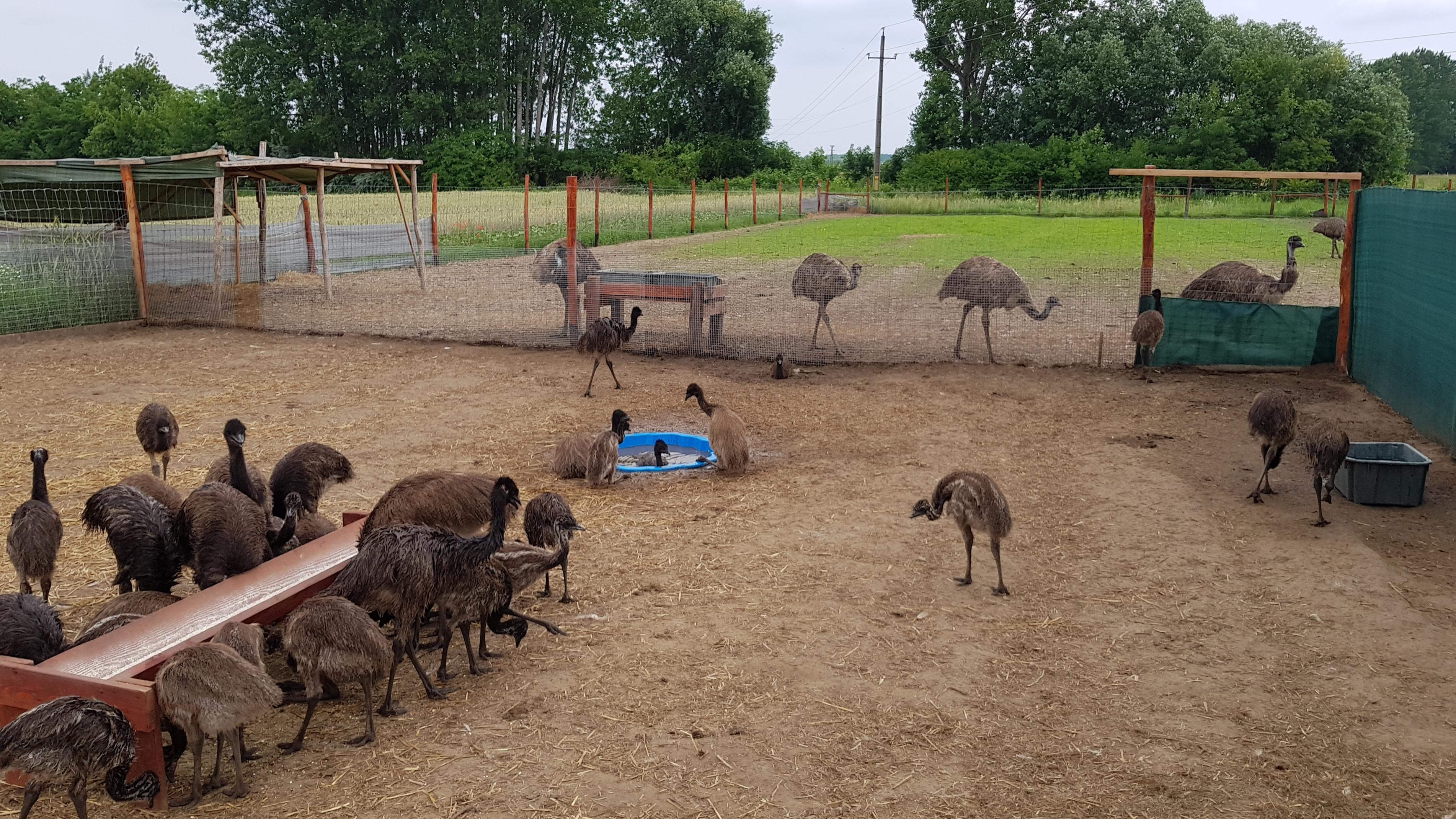 emu madár eladó