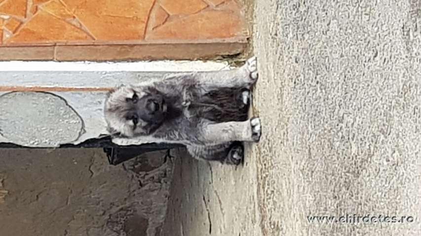 Kangal kan kiskutya