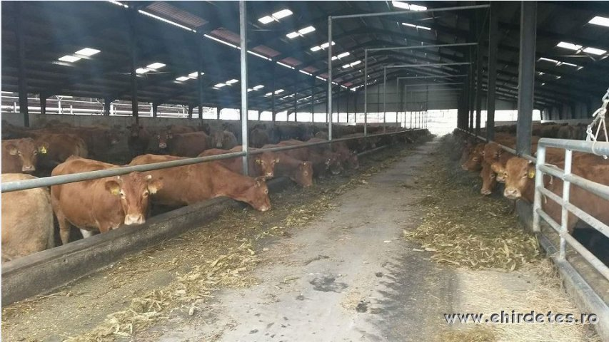 Limousin pregnant heifers for sale