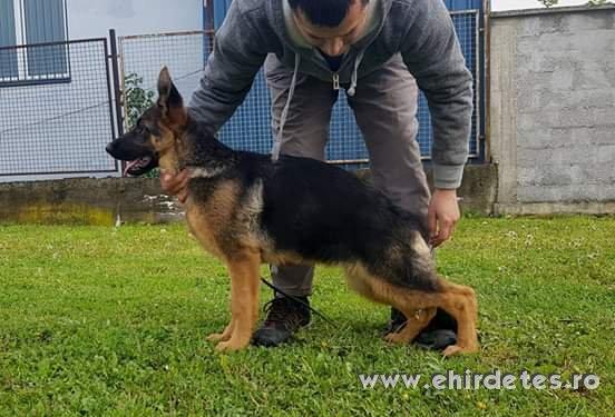 Német juhászkutya kölykök eladó Serbia