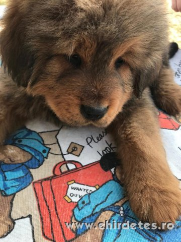 Oroszlan fejű Tibeti Mastiff kutya kölykök