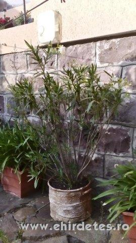Piros szinu oleander