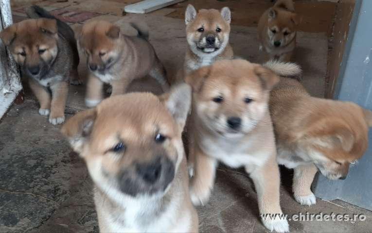 Shiba inu  minőségi kiskutyák