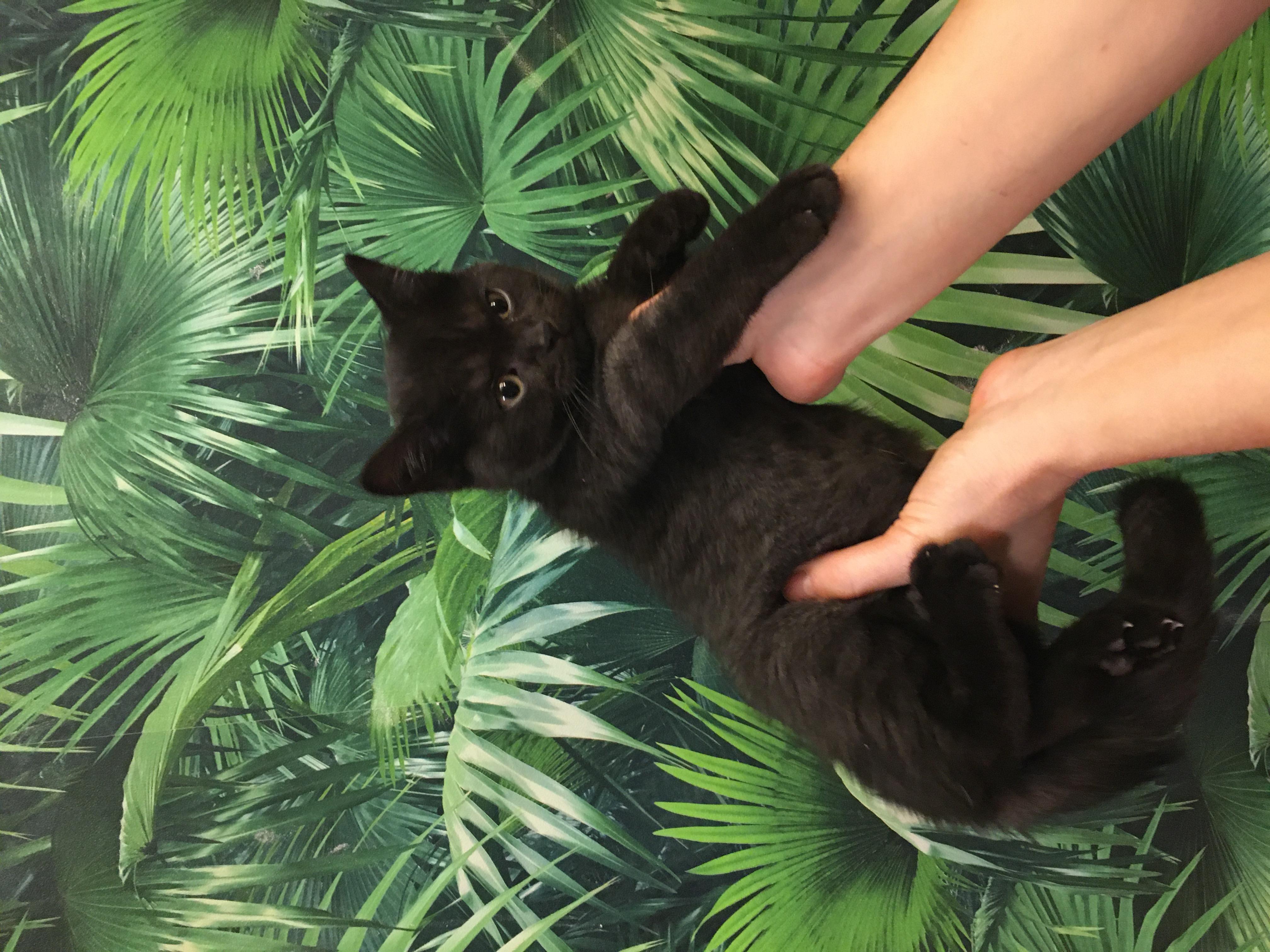 Skót lógófülü cica