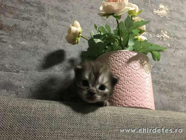 Skt lógfülü cica
