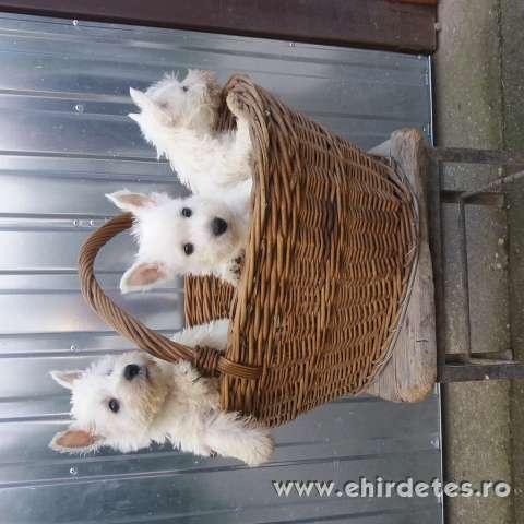 Westi kiskutyák eladók