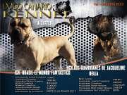 Dogo Canario kölyökkutya