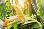 Kukorica felvásárlás