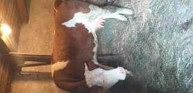 Nagy tejhozamu tehén