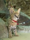 Serval kittens wanted